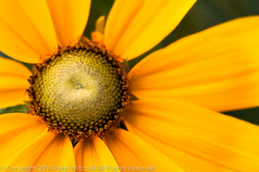 Yellow_Orange_Rudbeckia,_9.2.13