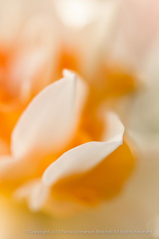 Unsharp-_Daffodil_(I),_2.25.14